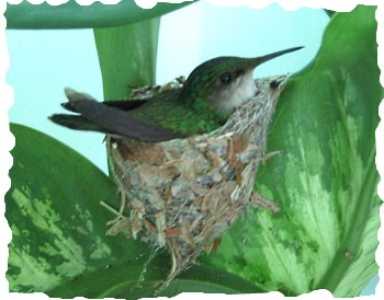 Carriacou - Hummingbird